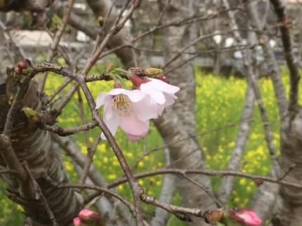 桜開花20190321庭1