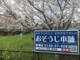 看板桜満開20190330