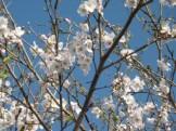 庭の満開の桜