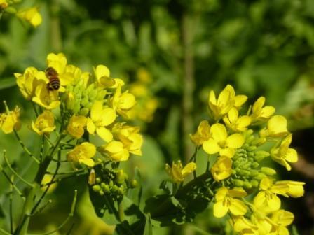 菜の花20120224 120439.jpg