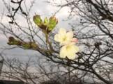 桜開花20190321庭2